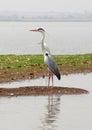 Grey heron bird sanctuary india photo taken in shallow water body at bhigwan Royalty Free Stock Photo