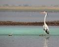 Grey heron bird sanctuary india photo taken in shallow water body at bhigwan Stock Images