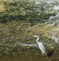 Grey heron bird in the water kamo river kyoto japan Royalty Free Stock Photos