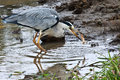 Grey Heron catching a frog Royalty Free Stock Photo