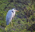 Grey heron cinerea ardea Stock Foto