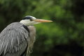 Grey heron detail ardea cinerea on green background Royalty Free Stock Photography
