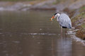 Grey Heron eating a frog Royalty Free Stock Photo