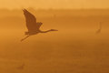 Grey Heron Flight Up In Twilight