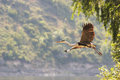 Grey heron flying over big river Stock Photography