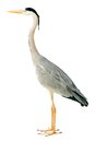 Grey heron isolated on white Stock Photography