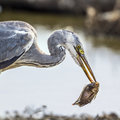 Grey heron in kruger national park south africa specie ardea cinerea family of ardeidae Stock Images