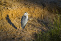Grey heron in kruger national park south africa specie ardea cinerea family of ardeidae Stock Photo