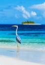 Grey heron on Maldives island Royalty Free Stock Photo