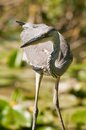 Grey heron oasi del torrile parma Royalty Free Stock Photos