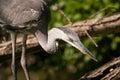 Grey heron oasi del torrile parma Stock Image