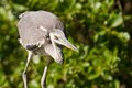 Grey heron oasi del torrile parma Royalty Free Stock Photo