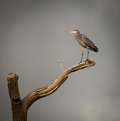 Grey heron perched on dying branch ardeidae against a sky Royalty Free Stock Photography