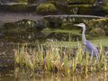 Grey heron in pond at lady dixon park belfast Royalty Free Stock Images