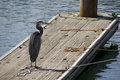 Grey heron on a quay in marina lone standing the looking out fro fish Royalty Free Stock Photos