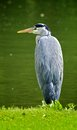Grey heron sitting on the water s edge a herron of a pond in green park london Stock Image