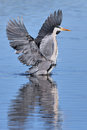 Grey Heron with spread wings in water Royalty Free Stock Photo