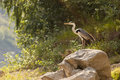 Grey heron standing on big rock near river Stock Images