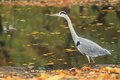 Grey heron standing in water Stock Images