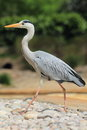 Grey heron the strolling on the rocks Stock Photo