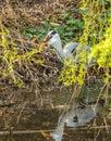 Grey heron swallowing common european frog Royalty Free Stock Photo
