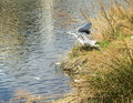 Grey heron taking flight bird in the water kamo river kyoto japan Stock Photo