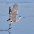 Grey Heron taking off over water Stock Image