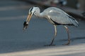Grey heron view of a with a fish Royalty Free Stock Photos