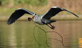 Grey heron view of a in flight with a fish Royalty Free Stock Photos