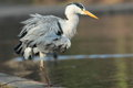 Grey heron view of a with ruffled feathers Royalty Free Stock Photo