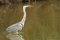 Grey Heron in water Stock Photos