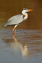 Grey heron in water ardea cinerea with reflection south africa Stock Photo