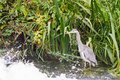 Grey Heron in the water Royalty Free Stock Photo
