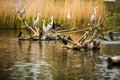 Grey herons colony of ardea cinerea Stock Images