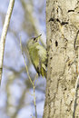 Grey hooded woodpecker male picus canus in natural habitat Stock Image