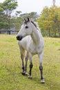 Grey horse Royalty Free Stock Photo