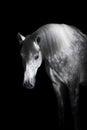 Grey Horse On The Black Backgr...