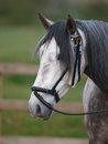 Grey horse head shot a of a in a tradition halter Royalty Free Stock Image