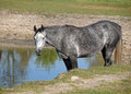 Grey horse on watering a was prepared to drink water from a lake Stock Photo