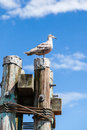 Grey Juvenile Western Herring Seagull & x28;Larus occidentalis& x29; Royalty Free Stock Photo