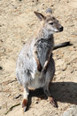 Grey kangaroo small gray in the desert Stock Image