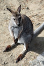 Grey kangaroo small gray in the desert Royalty Free Stock Photos