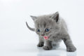 Grey kitten Royalty Free Stock Photography