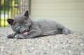 Grey kitten bathing outdoors Fotografia Stock Libera da Diritti