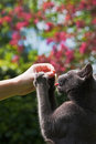 Grey kitten being fed in a spring garden Royalty Free Stock Photography