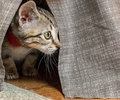 Grey Kitten hiding under bed skirt Royalty Free Stock Photo
