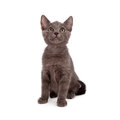 Grey kitten looking up small six week old sitting and Royalty Free Stock Photography