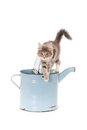 Grey kitten standing o watering can Royalty Free Stock Photo
