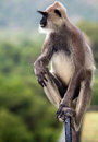 Grey langur monkey a monkeys sitting relaxed looking into the distance Royalty Free Stock Images
