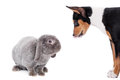 Grey lop eared rabbit with basenji puppy rex breed on white Stock Photo
